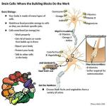Wahls diet summary nerve cells